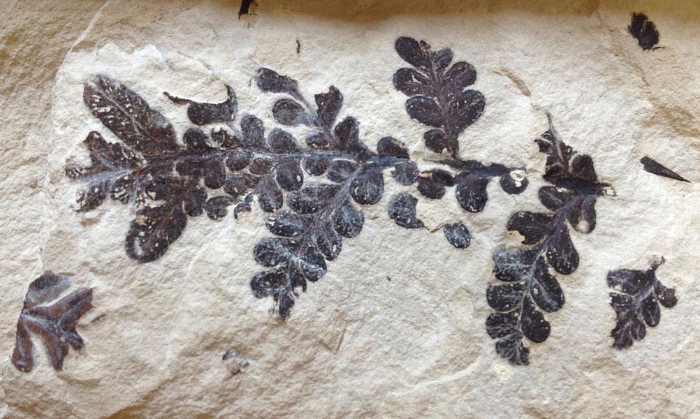 Plante (Jurassique, Orbagnoux-Ain)  geol, ©Prieur